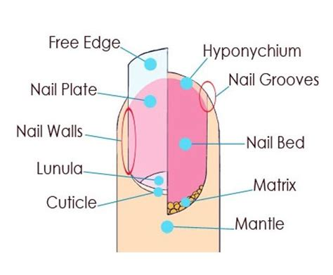 nail bed anatomy 57 best images about diy manicure nail stuff on pinterest polish about you and
