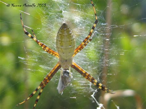 Banded Garden Spider Cycle Nature Nut Argiopes At Last