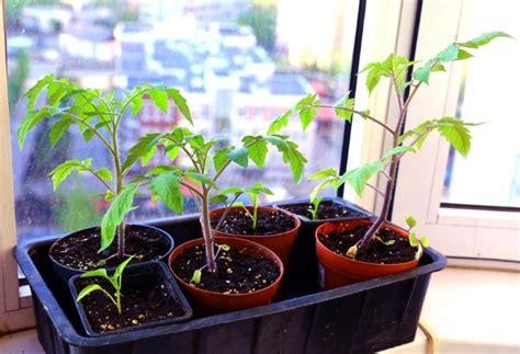 mutterbänder ziehen ab wann tomaten aus samen selber ziehen eine anleitung und ein