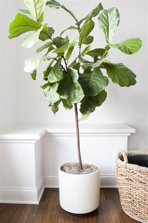 interior plant how to repot a fiddle leaf fig tree room for tuesday