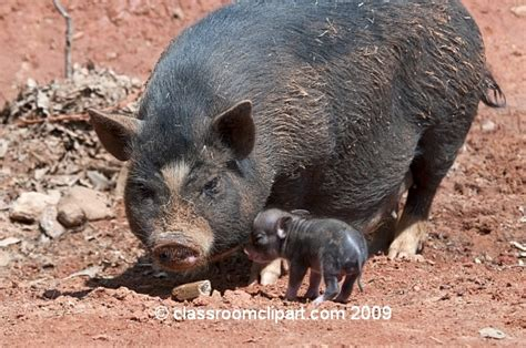 pot belly pig   pet pk
