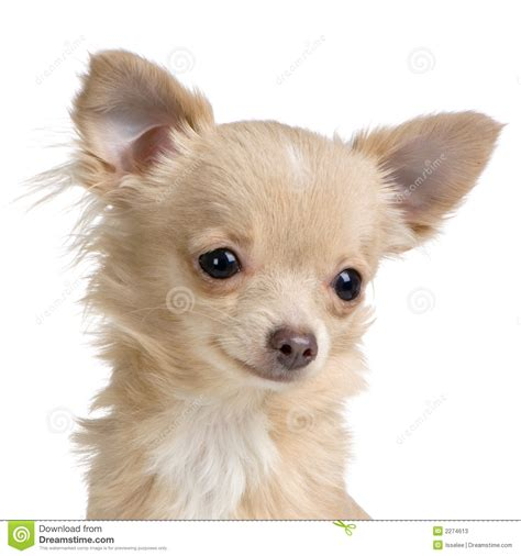 chihuahua vs pomeranian haired chihuahua vs pomeranian breeds picture