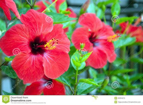 grandi fiori grandi fiori dell ibisco immagine stock immagine