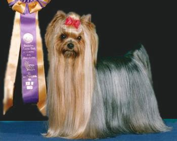 looking for a yorkie puppy terrier breeders in virginia caraneal terriers