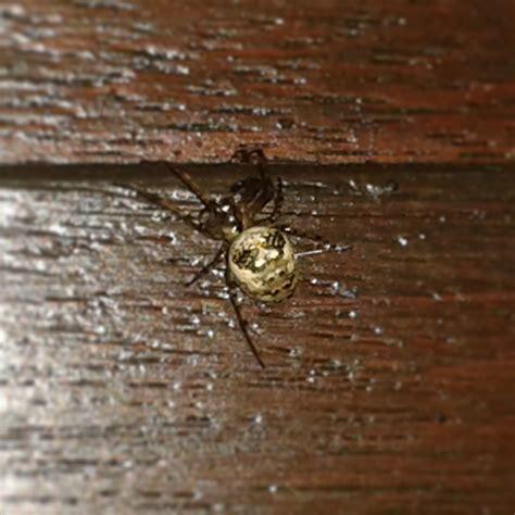 Garden Spider Vs False Widow House Spider Garden Spider Or False Widow Or If You