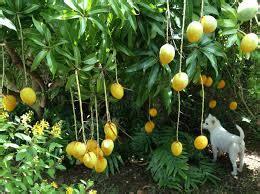 Bibit Jagung Manis Paling Bagus supaya mangga dalam pot rumah berbuah lebat tanaman