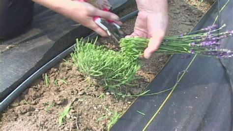 come coltivare la lavanda in vaso potatura lavanda tecniche di giardinaggio come potare
