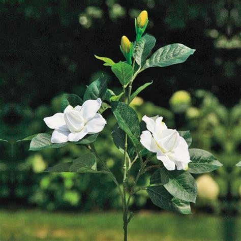gardenia fiore fiore gardenia adriani e