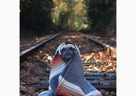 pugs in blankets 11 adorable pugs in blankets photo gallery