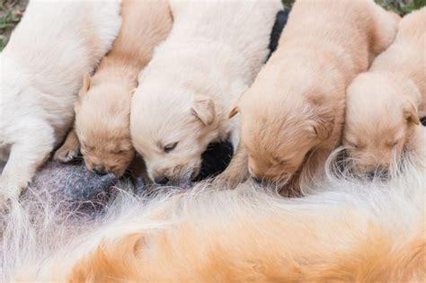 newborn puppy milk how to tell if newborn puppies are getting milk cuteness