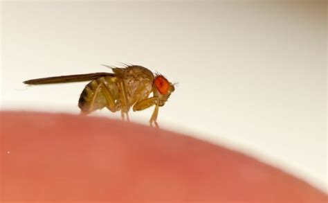 fruit fly like bugs in bathroom fruit fly don t bother me brody brothers pest control