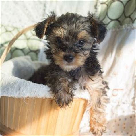 yorkie poo puppies for sale in nj yorkie poo puppies for sale in de md ny nj philly dc and baltimore