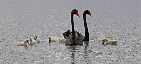 feeding swans and ducks