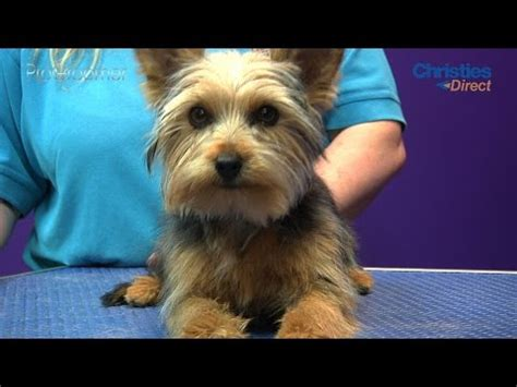 yorkie sneezing and coughing yorkie cough tracheal collapse in dogs veterinarian diagnosis treatment