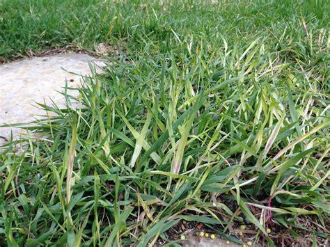killing grass quack grass killer www imgkid the image kid has it