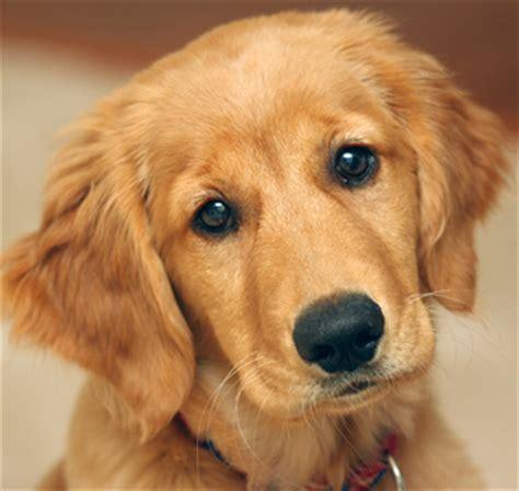 golden retriever aggression toward other dogs retriever rescue of colorado adopt a retriever breed type retriever rescue of
