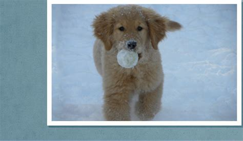 golden retriever puppies in ontario white golden retriever puppies for sale ontario dogs our friends photo