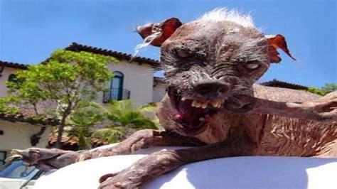 imagenes animales mas feos del mundo los 10 perros m 225 s feos del mundo 10 ugliest dog in the