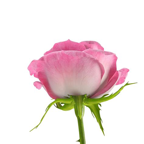 flores png rosas fondos de pantalla y mucho m 225 s ღfondos de pantalla y mucho m 225 sღ flores png rosas