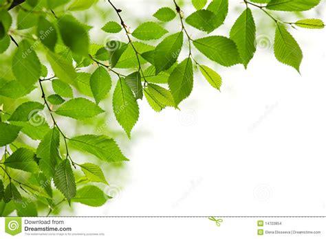 imagenes hojas verdes hojas verdes del resorte en el fondo blanco imagenes de