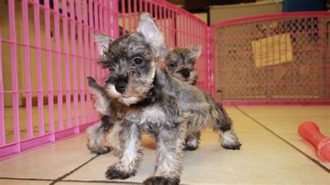 puppies for sale atlanta cuddly salt pepper miniature schnauzer puppies for sale in atlanta at puppies for