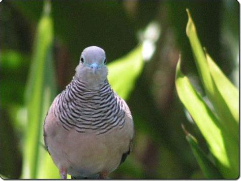 Makanan Perkutut sehat tidak harus mahal merawat burung perkutut kesayangan
