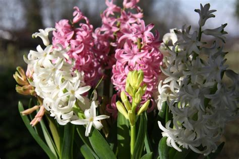 early flowering bulbs country garden uk