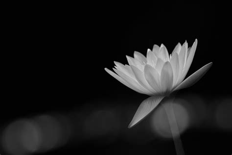 best black and white flower black and white best free desktop hd wallpapers