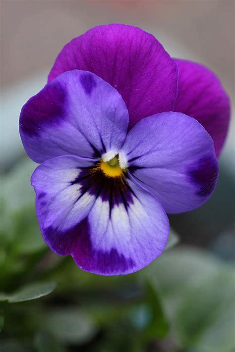 Garden Flowers Violas Such Dainty Winter Blooms Lisa Flower Garden Florist