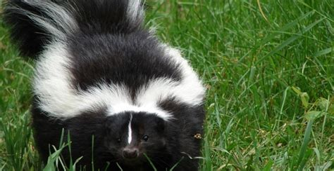 Why Does House Smell Like Skunk How To De Skunk A Yup Was Sprayed By A Skunk