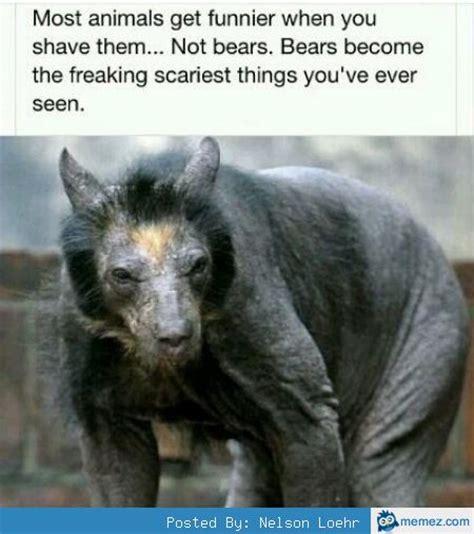 shaved bear memes com