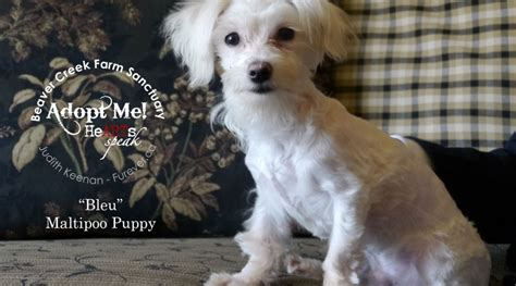 maltipoo puppies rescue adoptable maltipoo puppy meet bleu adopted beaver creek farm sanctuary