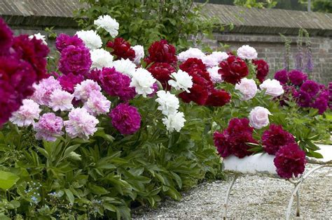 Fragrant Garden Flowers Looking Fragrant Garden Peony Plants Collection Pack Of Three Plants
