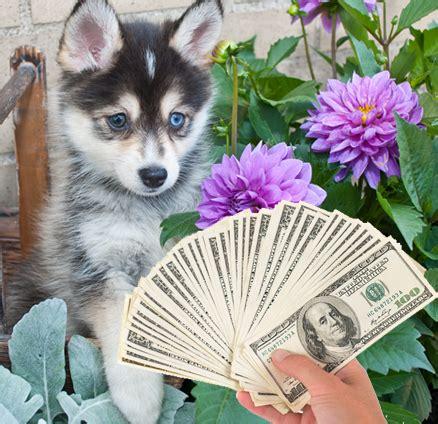 husky pomeranian cost 7 costs of owning a pomsky pomsky