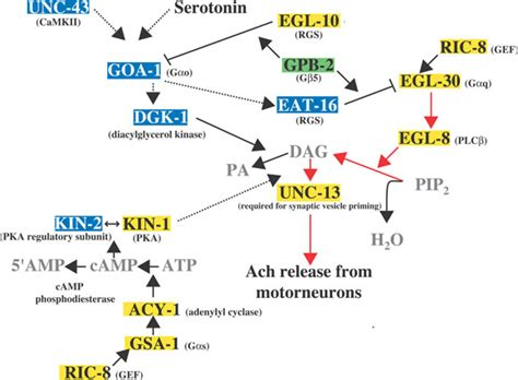 g protein q heterotrimeric g proteins in c elegans