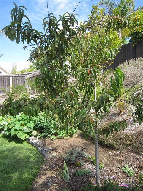 backyard peach tree 301 moved permanently