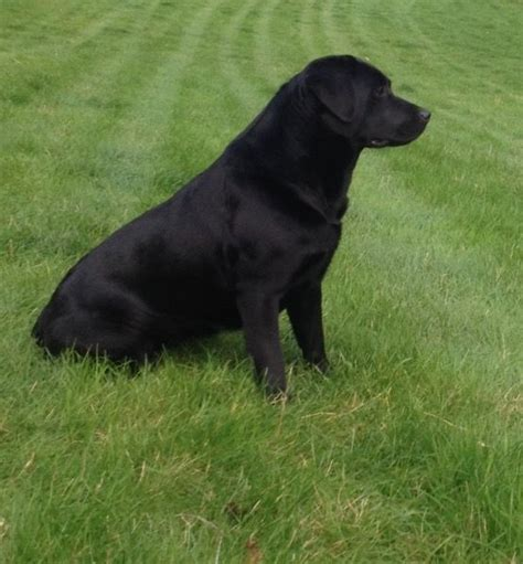 labrador x golden retriever puppies for sale black labrador x golden retriever puppies for sale hereford herefordshire pets4homes