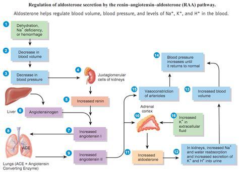 raas system flowchart the renin angiotensin aldosterone reflex