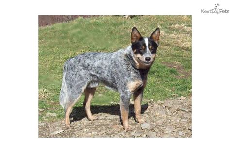queensland heeler puppies craigslist pomsky puppies san antonio breeds picture
