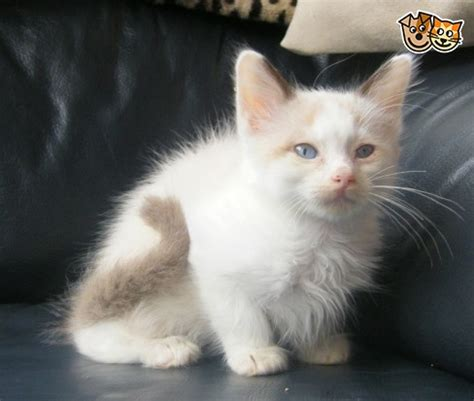 cats for sale plymouth snowshoe kittens with ragdoll siamese lines plymouth