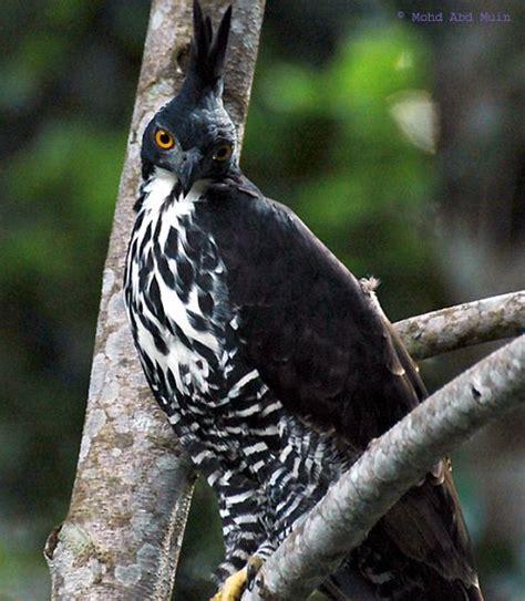 Javara Madu Hutan Hitam Kalimantan Black Honey blyth s hawk eagle elang gunung jenisbop