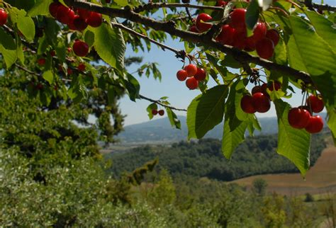 with cherry tree swings and cherries strada toscana