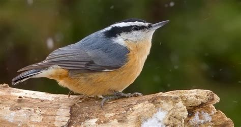red breasted nuthatch overview all about birds cornell