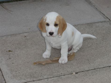 white beagle puppies beagle puppy on encyclopedia breeds picture