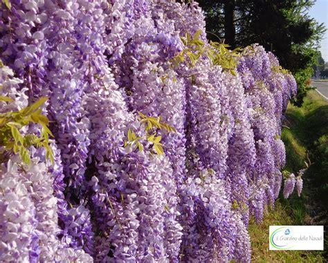 fiori viola a grappolo il giardino delle naiadi glicine pericolosa bellezza