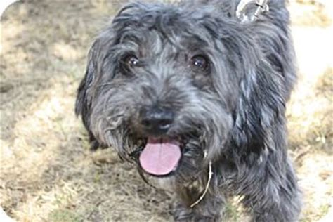 shih tzu terrier poodle mix biscuit adopted az shih tzu poodle miniature mix