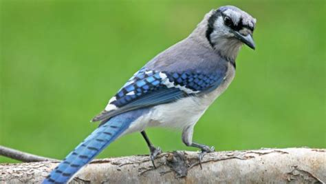 listen identifying common bird sounds in massachusetts