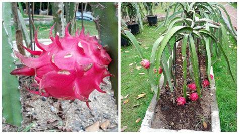 Bibit Buah Naga Merah Dalam Pot free budidaya buah naga dalam pot pdf managermba