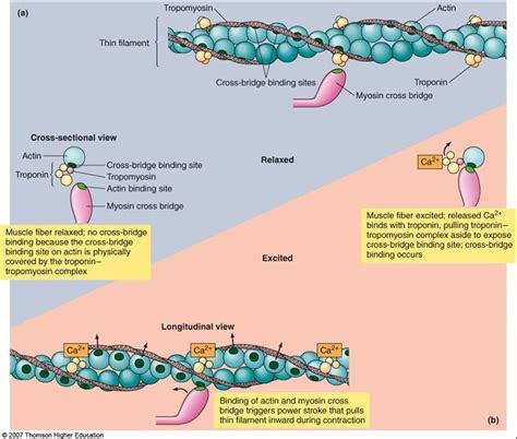 5 proteins of myofilaments myosin and actin animation www pixshark images