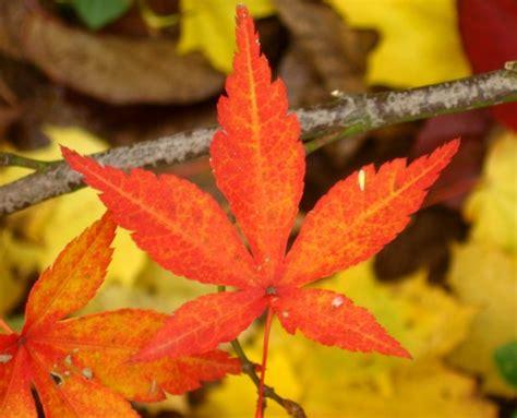 file maple leaves jpg file japanese maple leaf jpg